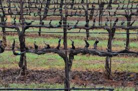 bilateral cordon spur pruned vines at naggiar vineyards 1280 847