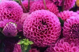 pink flower pink flower pictures free images on unsplash
