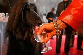 afghan hound utah behind the scenes at the 137th westminster kennel club dog show