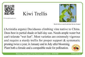 kiwi trellis all sizes kiwi fruit trellis system flickr photo