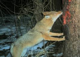 Can Coyotes See Red Light Red Fox The Nature Of Delaware