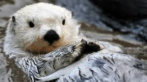 sea otter animal profile pictures facts range map