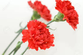 Red Carnations Red Carnation Stock Photos Royalty Free Red Carnation Images And
