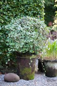 Topiaries Plants - ixora topiary google search plants pinterest plants and