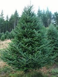 balsam fir christmas tree christmas trees redrock farm