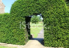 Yew Topiary - image of clipped yew tree archway topiary arch in garden stock