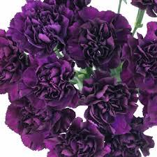 purple carnations purple carnation flowers