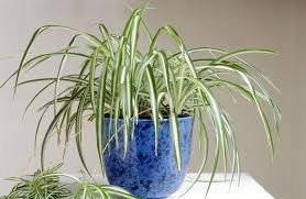 how well would a plant grow under pure yellow light how to grow spider plants chlorophytum