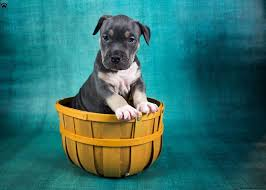 belgian sheepdog breeders pa american bully puppies for sale in pa greenfield puppies
