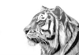 pictures tiger sketches drawings drawing art gallery