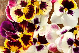 Flower Colour Symbolism - pansy flower meaning flower meaning
