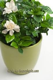 Fragrant Indoor House Plants - best 25 gardenia care ideas on pinterest diy jasmine fragrance