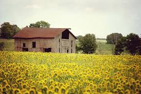 sunflowers u0026 barn picture rustic landscape photography farm