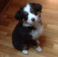 australian shepherd male names 55 adorable australian shepherd dog images and pictures
