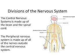 What Is Interneuron Bell Ringer Where Can You Find A Sensory Neuron Interneuron