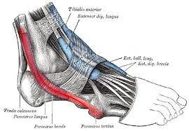 Foot Ligament Anatomy Do You Have Peroneal Tendonitis Here Is How To Fix It Runners