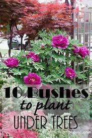 sweet viburnum 200mm pot viburnum 61 best bushes u0026 shrubs images on pinterest shrubs native