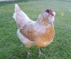 Chickens For Backyards by The 8 Best Egg Laying Breeds Of Backyard Chickens Off The Grid News