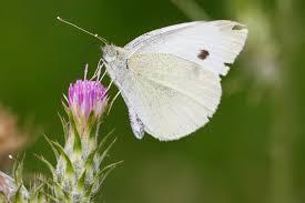cabbage white butterfly backyard butterfly garden