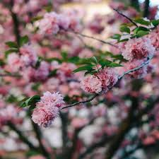 Cherry Blossom Tree Facts by Ultimate Guide To Viewing Cherry Blossoms In Japan Not A Nomad Blog