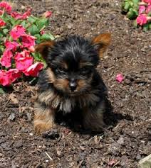australian shepherd yorkshire terrier mix puppies for sale lancaster puppies