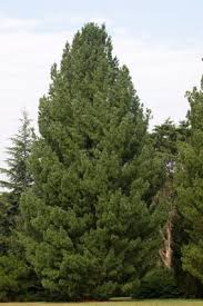 white pine tree white pine trees for sale eastern white pine for sale