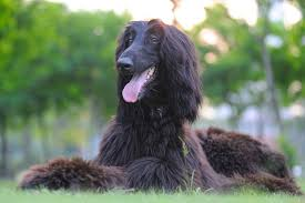does an afghan hound shed 10 dog breeds that do not get along well with cats pawculture