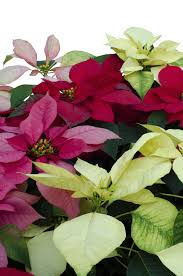 Different Types Of Garden Plants Poinsettia Plant Types U2013 Learn About Poinsettia Plant Varieties