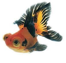 kingyo the artistry of japanese goldfish kanoko okamoto kazuya