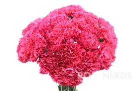 Wholesale Carnations Wholesale Pink Carnations Wedding Flowers Bulk