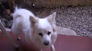 american eskimo dog meme video cosi a 1 youtube