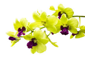 white orchid flower orchid flower meaning flower meaning