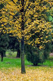 good trees to grow in zone 3 cherry birch