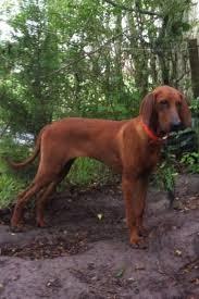 bluetick coonhound puppies for sale in texas best 25 redbone coonhound ideas on pinterest red bone hunting