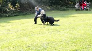 belgian shepherd gumtree protection dogs for sale videos of our guard dogs protection training