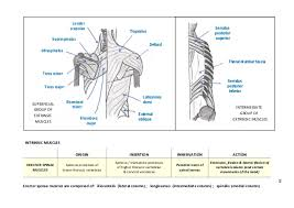 Innervation Of Infraspinatus Anatomy Revision Of The Upper Limb Lower Limb U0026 Back