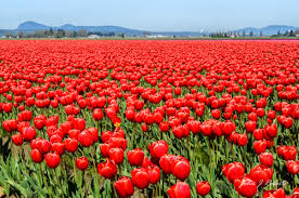 skagit valley tulip fields john roberts photography and other