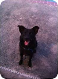 belgian sheepdog rescue florida blacky adopted dog hollywood fl belgian shepherd labrador