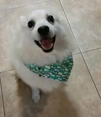 american eskimo dog michigan eskie rescuers united