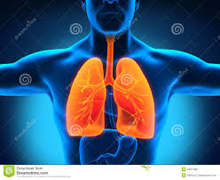 Human Male Anatomy Male Anatomy Of Human Respiratory System Royalty Free Stock Images