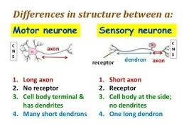 What Is Interneuron Neurology What Is The Difference Between Sensory Neuron And A