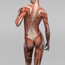 Human Body Anatomy Pics Human Anatomy Chart Page 34 Of 202 Pictures Of Human Anatomy Body