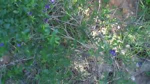 san diego county native plants nightshade solanum parishii a san diego native plant youtube