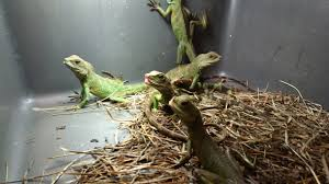 reptiles suffer left to die at another massive petsmart supplier mill