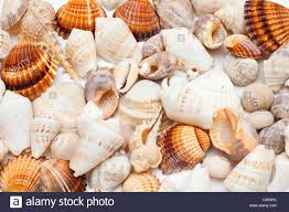 assorted seashells background of assorted seashells stock photo royalty free image