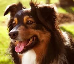 australian shepherd traits australian shepherd dog breed