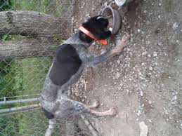 bluetick coonhound youtube bluetick kijiji in ontario buy sell u0026 save with canada u0027s 1