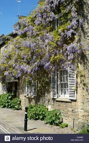 house with climbing lilac coloured wisteria in full bloom