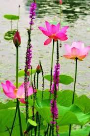 Lotus Flower Parts - flowering plants types of flowering plants biology tutorvista com