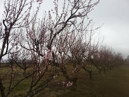 The Peach Tree Barnes Entz Orchard Home Facebook